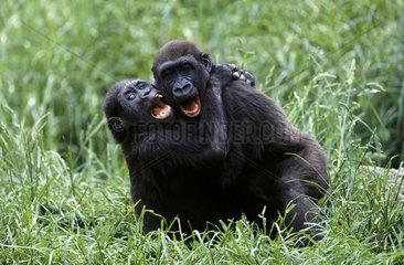 Western Gorilla / Westlicher Flachlandgorilla
