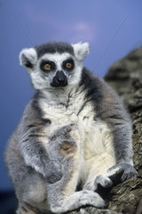 katta  lemur catta  ring-tailed lemur