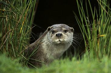 European Otter / River Otter / Europaeischer Fischotter