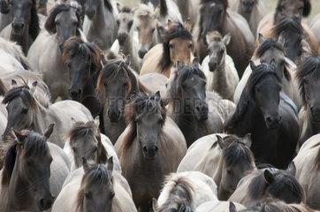 Duelmener Wildpferde  Herde  wild herd of Duelmen Ponies  Germany