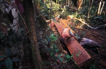 Gefaellte Edelhoelzer im brasilianischen Urwald