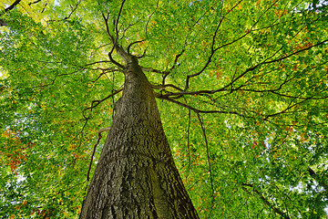 Low angle view of Copper Beech tree  Fagus sylvatica  Saxon Switzerland National Park