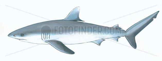 Serie Fische Grauer Riffhai Carcharhinus amblyrhynchos Serie Haie