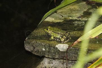 gruene Frosch