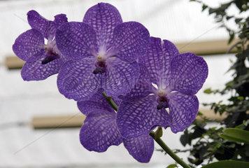 Berlin  Deutschland  lila Orchideenblueten