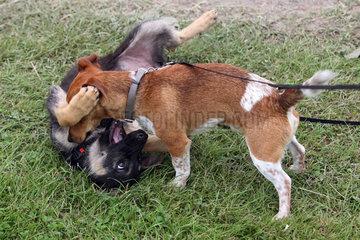 Hamburg  Deutschland  Hunde spielen miteinander