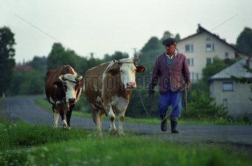 Bauer treibt seine Kuehe nach Hause  Polen