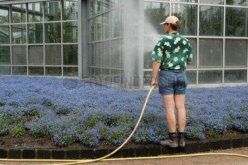 Sprengmeister und blaue Blumen