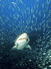 Sandtigerhai im Fischschwarm  Gray nurse shark  sand tiger shark  in school of fish  Carcharias taurus