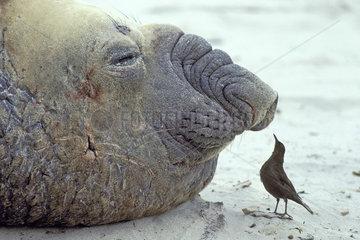 Southern elephant seal & Tussac bird