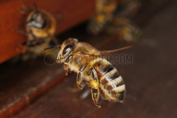 Berlin  Deutschland  Honigbiene mit Pollen am Bein im Anflug auf ihren Bienenstock