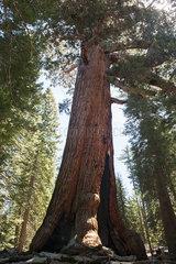 Giant sequoia tree  Yosemite National Park  California  USA