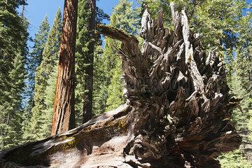 Fallen tree in giant sequoia grove  Yosemite National Park  California  USA