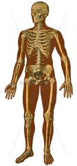 menschlicher Koerper  Skelett  Schulwandtafel 1929