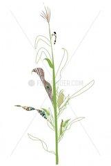 Organisch Gras Genetisch veraendert