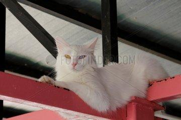 TURKEY-VAN-VAN CAT-PROTECTION