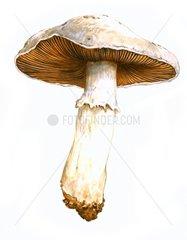 Wiesenchampignon 1 Agaricus campestris Speisepilz