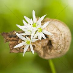 Baerlauch - bear's garlic