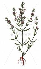 Bohnenkraut Satureja hortensis