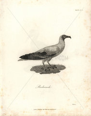 Gier eagle from Bruce's Travels to Discover the Source of the Nile  1790.