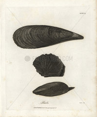 Pearl shells from Bruce's Travels to Discover the Source of the Nile  1790.