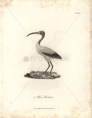 Sacred ibis from Bruce's Travels to Discover the Source of the Nile  1790.
