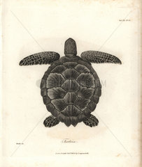 Hawksbill sea turtle from Bruce's Travels to Discover the Source of the Nile  1790.