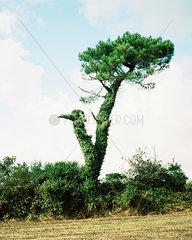 Baum von Efeu ueberwuchert