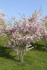 Kirschblueten im Fruehling  flowering cherry tree in spring