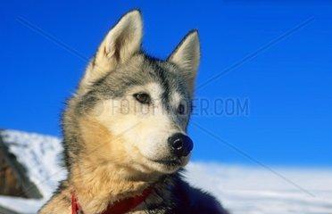 Schlittenhunde oder Huskies im Schnee