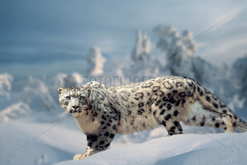 Schneeleopard  Irbis  Unica unica  Panthera unica  Snow Leopard