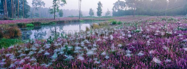 Heide mit Spinnenweben am Morgen