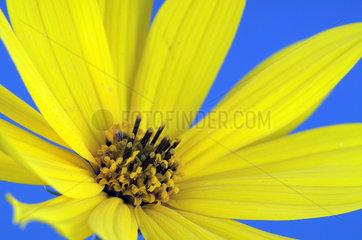 Gelbe Bluete  Gartenmargerite (Chrysanthemum)