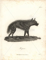 Hyena from Bruce's Travels to Discover the Source of the Nile  1790.