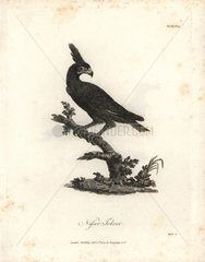 Long-crested eagle from Bruce's Travels to Discover the Source of the Nile  1790.