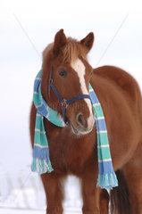 Horse with scarf in the winter  Pferd mit Schal im Winter