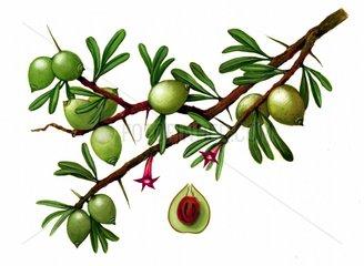 Argania Argania spinosa Nutzpflanze