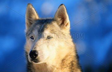 Schlittenhunde oder Huskie im Schnee