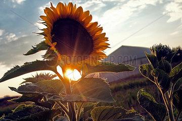 Sonnenblume am Abend