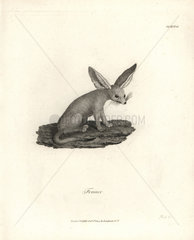 Fennec fox from Bruce's Travels to Discover the Source of the Nile  1790.