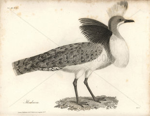 Houbara bustard from Bruce's Travels to Discover the Source of the Nile  1790.