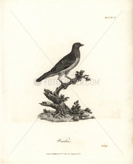 Bruce's green pigeon from Bruce's Travels to Discover the Source of the Nile  1790.
