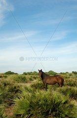Braune Stute in freier andalusischer Pampas Landschaft