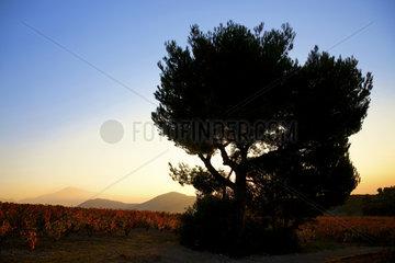 Chateauneuf du Pape mit Mt. Ventoux  Provence