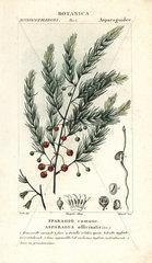 Asparagus  Asparagus officinalis