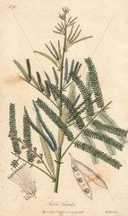 Catechu tree  Acacia catechu