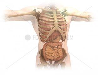 Organe und Skelett des Rumpfes