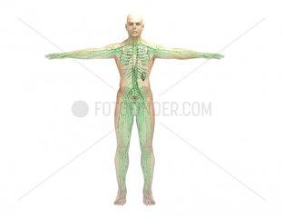 Lymphsystem und Skelett frontal