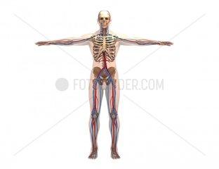 Gefaesse und Skelett frontal