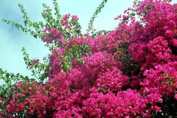 Bougainville Blumen Baum rosa